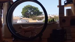 Snail running FAST on his Cat Wheel (gives himself a boost)