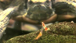 Красноухая черепаха и креветки в одном аквариуме