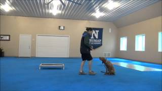 Ruger (vizsla) Puppy Camp Training Video
