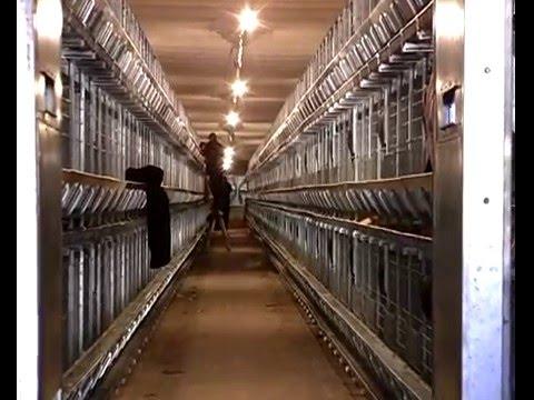 Клеточное оборудование позволяет создать необходимый микроклимат для оптимального жизнеобеспечения птицы. В результате вы получаете домашнее яйцо к столу не только в теплый период. Поскольку яйца из клеток выкатываются в специальные приемники, они не пачкаются и не разбиваются.