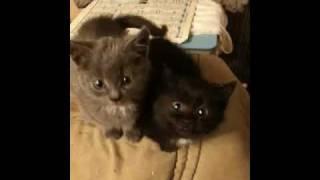 Черная кошка и серый кот