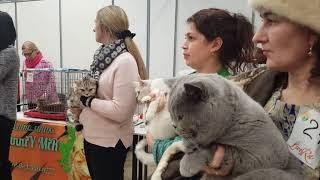 Как прошла выставка. Шоу британских кошек г.Барнаул  25.11.2018 г .