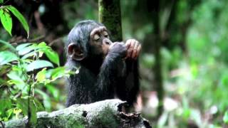 Chimps Cracking, Eating and Acting Nuts