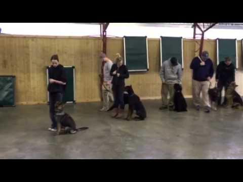 "doberman-""rio""-advanced-off-leash-obedience-training-for-sale"
