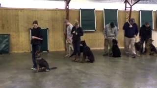 "Doberman ""rio"" Advanced Off Leash Obedience Training For Sale"