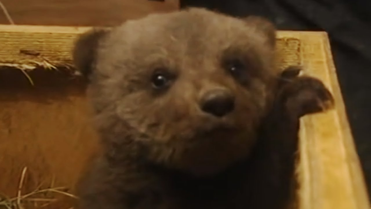 Boris The Cute Baby Bear Youtube