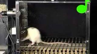 Conditioned suppression of a rat