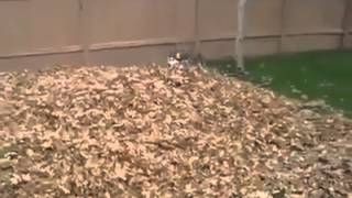 This Siberian Husky Is Having Fun! - Funny Videos 2014