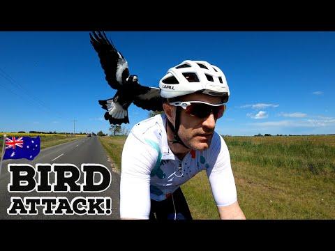 When Birds ATTACK! // Australian Magpie Swooping Season 🇦🇺🦅