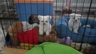 Mary Millers Maltese Puppies For Sale, Florida (954) 370-0406