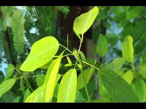Вопрос: Танцующее дерево, что это за растение, где растет , чем известно?