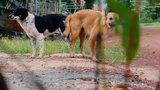 In Front Of My Home two Dog meeting near Grass  Pet Family