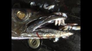 深海釣獲尖牙利齒的怪魚,被這怪魚咬一口絕對是深可見骨啊 thumbnail