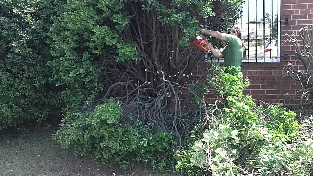 Cutting Giant Holly Bushes Down Youtube