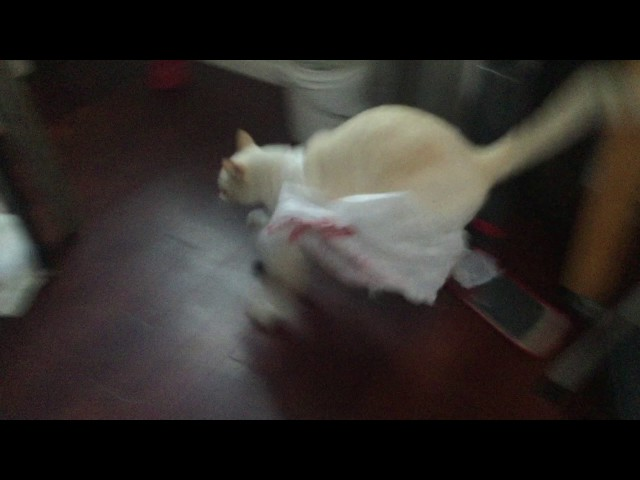 """get in the bag"" cat instantly regrets getting in the bag"