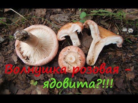 Как выглядят волнушки грибы
