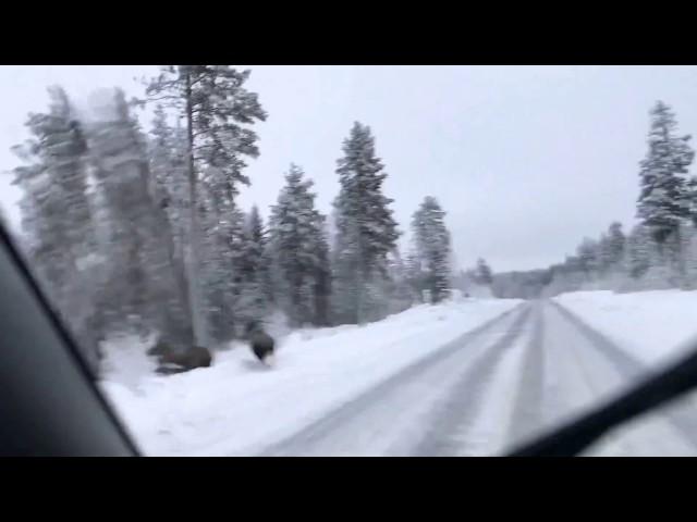 Elge på Vejen syd for Jokkmokk.