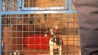 Как приучить собаку к клетке (Джек рассел дрессировка)