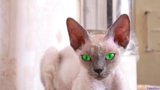 Сфинкс кошка с уникальными глазами