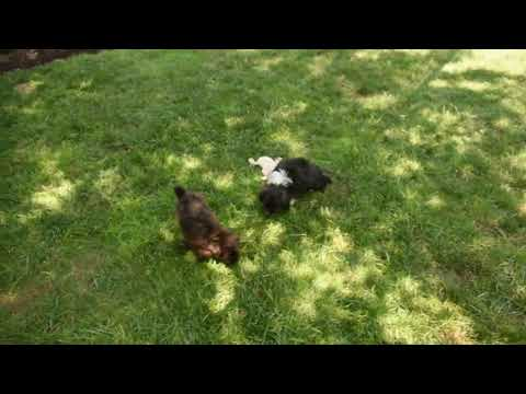 Mini Aussiedoodle Puppies For Sale Becky Esh
