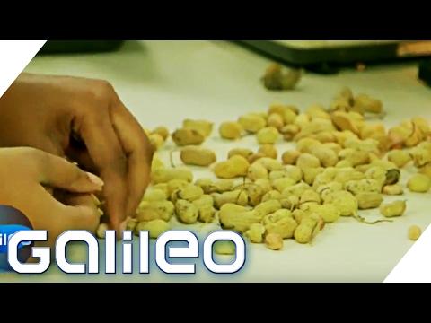 Die Erdnuss: Vom Feld in die Dose | Galileo | ProSieben