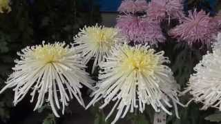 Япония. 1)Праздник хризантем в токийском святилище Юсима-тэндзин