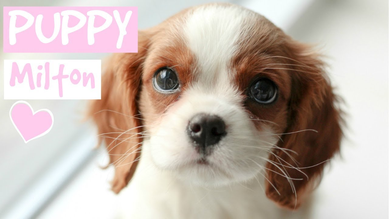 first day with new puppy cavalier king charles spaniel youtube