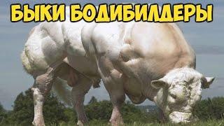 КОРОВЫ И БЫКИ БОДИБИЛДЕРЫ. БЕЛЬГИЙСКАЯ ГОЛУБАЯ ПОРОДА  Meet the Super Cow