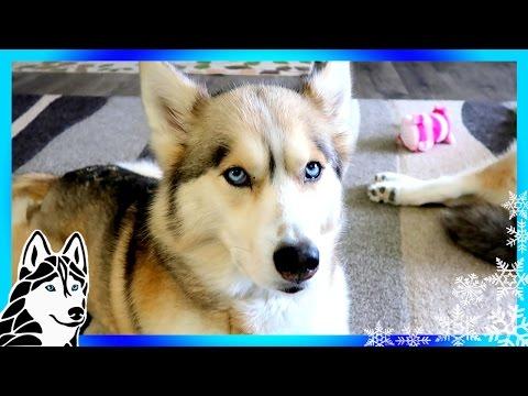 ABUSED HUSKIES NEED HELP | #AskGTTSD 282 | Siberian Husky