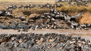 Great Migration and crocodile attack / rio Mara y ataque de cocodrilos thumbnail