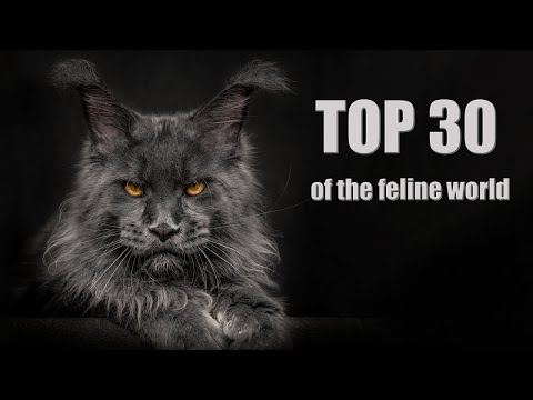 Top 30 of the feline world   The most beautiful Maine Coon cats in the world.