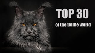 Top 30 of the feline world | The most beautiful Maine Coon cats in the world.