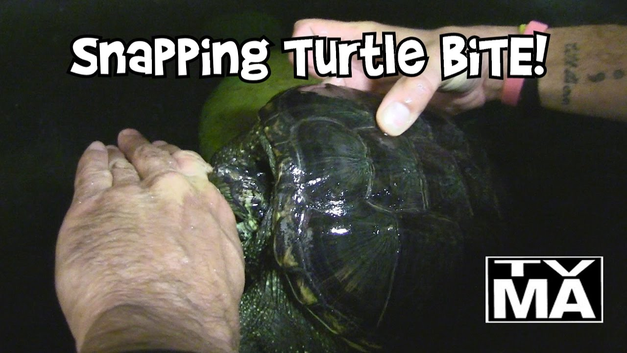 Alligator snapping turtle bite wound