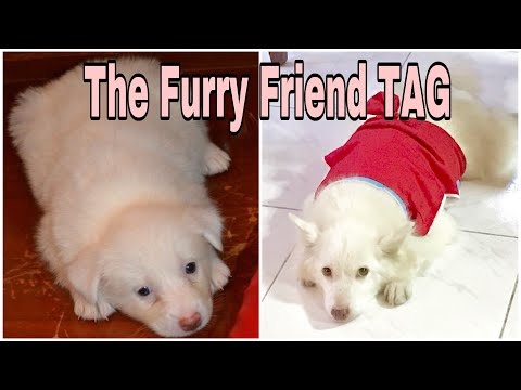 The Furry Friend Tag  - JAPANESE SPITZ 💕 | Philippines | AJ Masangya