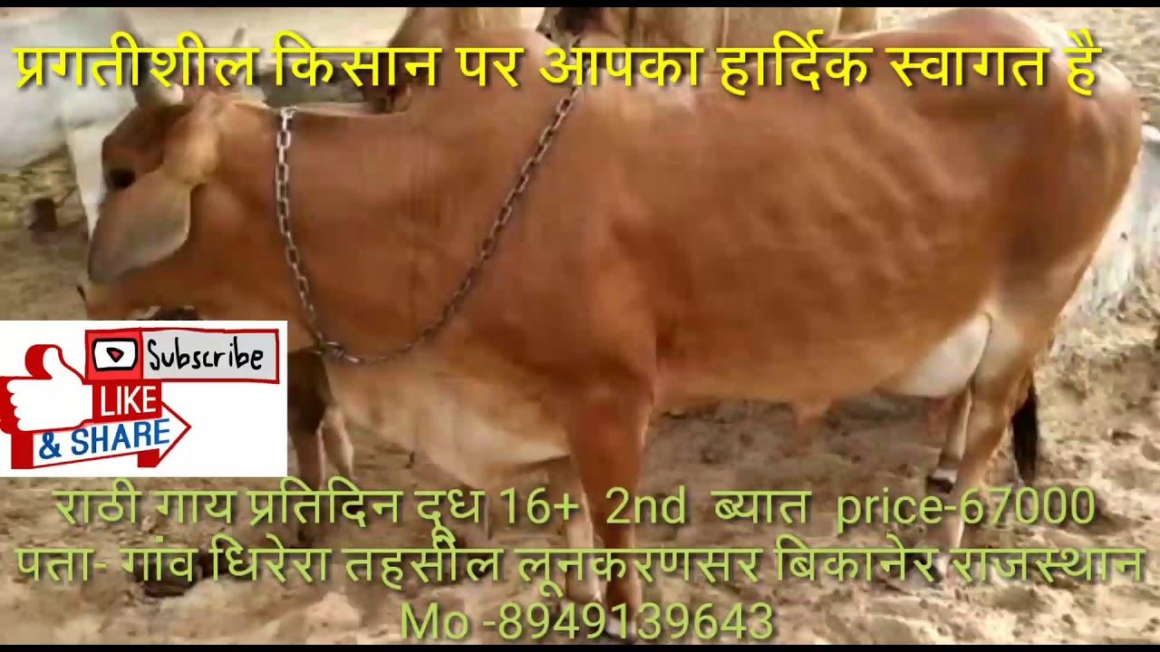 *Rathi cow for sale* देशी राठी गाय प्रतिदिन दूध 16+ *2nd ब्यात* price 67000 *बछङी* Mo-8949139643