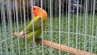 CARA MEMANCING BURUNG LOVEBIRD, PASTI BUNYI MENDENGAR VIDEO INI.. LOVEBIRD SINGING
