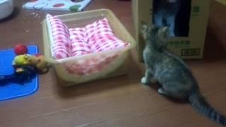 猫ちゃん達は段ボールが好き?