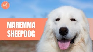 Maremma Sheepdog: The Complete Breed Guide
