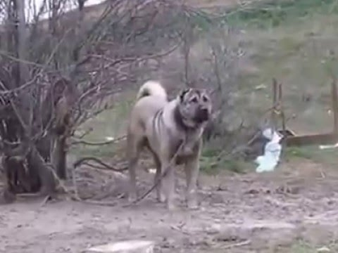 AYI BOĞAN KANGALLAR 05447143055 / bear catch kangal dogs