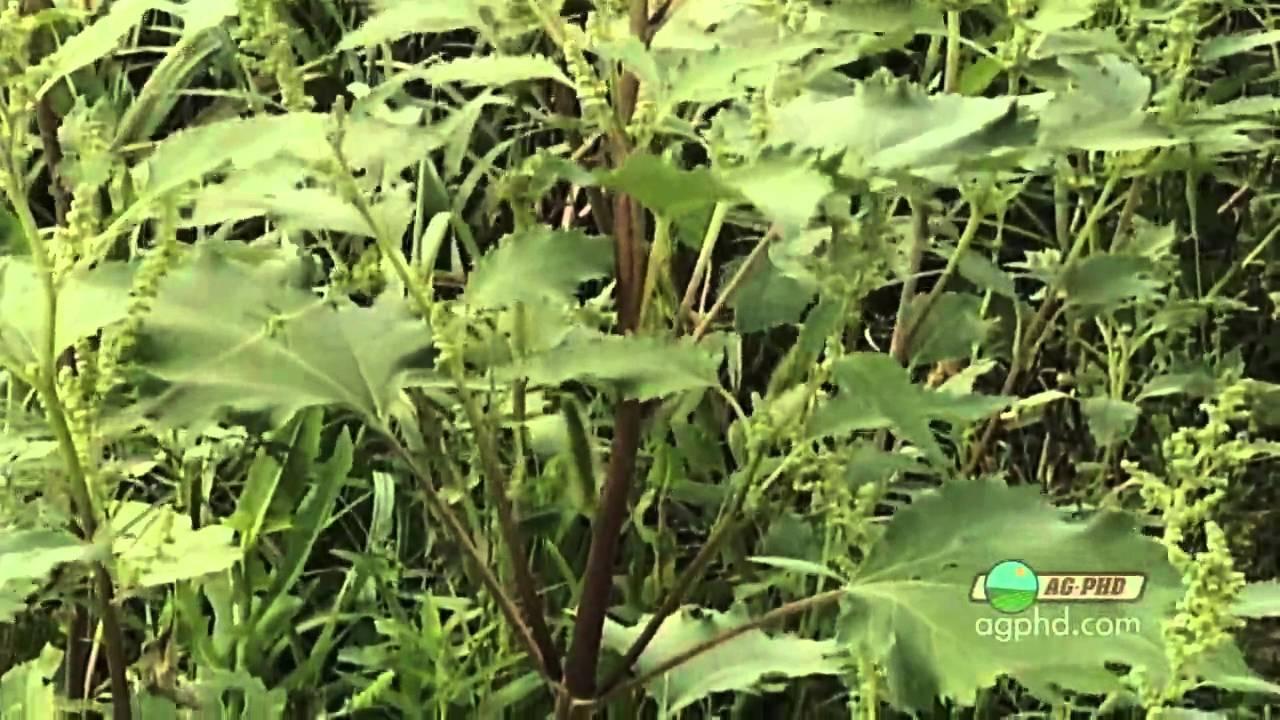 Weed Of The Week 645 Marshelder Air Date 8 15 10 Youtube