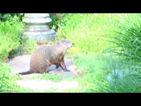 Pennsylvania Groundhog Hello