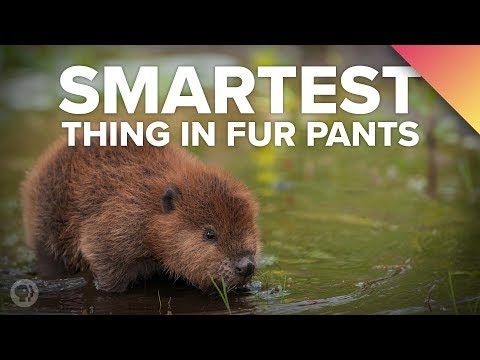 Why BEAVERS Are The Smartest Thing In Fur Pants