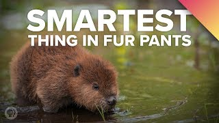 Beavers: The Smartest Thing in Fur Pants