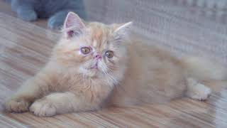 Các loại mèo cảnh tại cửa hàng thú cưng Long An - Scottish, Persian, Munchkin and Exotic cats