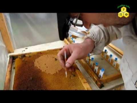 Полировка и перенос личинок в мисочки