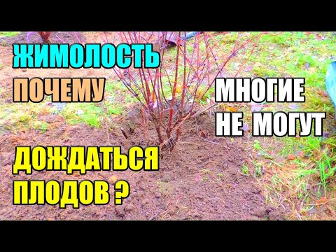 Вопрос: Какую жимолость посадить в Калининградской области?