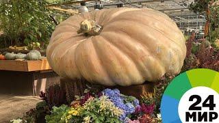 Оранжевое чудо: тыква фермера в Молдове весит уже 500 кг и продолжает расти - МИР 24