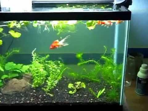New 20 Gallon Tall Planted Goldfish Aquarium   YouTube
