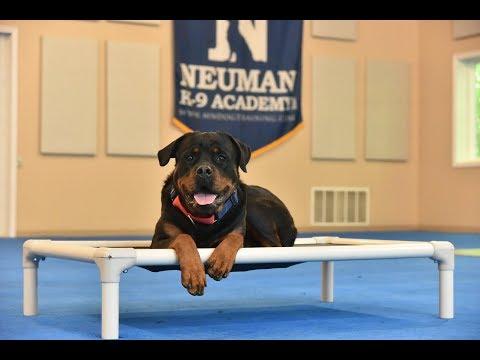 Tiffany (Rottweiler) Boot Camp Dog Training Video Demonstration