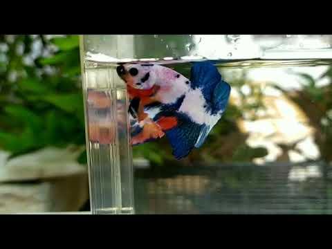 Jual Ikan Cupang Di Bekasi Hub Wa 088216908055 Youtube